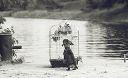 Wirehaired dachshund and bird on the river bank. Wirehaired dachshund and a cage with a bird on the river bank Royalty Free Stock Image