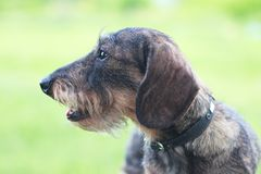 Wirehaired dachshund dog closeup licked on green background. Wirehaired dachshund dog closeup - green grass background Royalty Free Stock Image