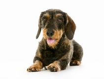 Wirehaired dachshund dog Stock Photography