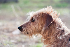 Wirehaired dachshund in the garden royalty free stock image