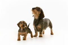 Wirehaired dachshund mother and puppy dog Royalty Free Stock Image