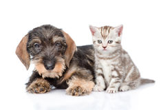 wirehaired dachshund puppy and tiny kitten together. isolated on white stock images