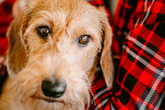 Wirehaired Dachshund Sits In Hands Of Mistress. Close Up Dog Por Royalty Free Stock Photo