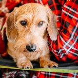 Wirehaired Dachshund Sits In Hands Of Mistress. Close Up Dog Por Royalty Free Stock Image