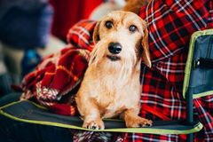 Wirehaired Dachshund Sits In Hands Of Mistress. Close Up Dog Por Stock Photography