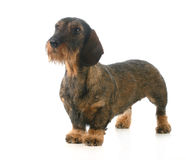 Wirehaired dachshund Royalty Free Stock Image