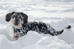 Wirehaired dachshund, wintertime stock photos