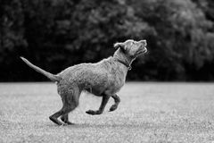 Wirehaired Hungarian Visla Royalty Free Stock Photos
