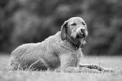 Wirehaired Hungarian Visla Royalty Free Stock Images