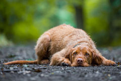 Wirehaired Hungarian Visla Royalty Free Stock Image