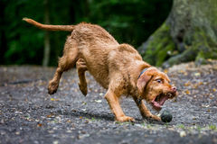 Wirehaired Hungarian Visla. Pouncing on ball with teeth Stock Images
