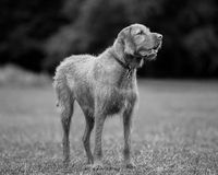 Wirehaired Hungarian Visla Stock Photography