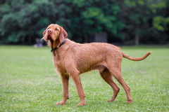 Wirehaired Hungarian Visla Royalty Free Stock Photography