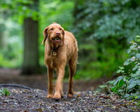 Wirehaired Hungarian Visla Royalty Free Stock Photo