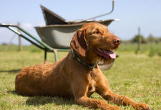 Wirehaired Hungarian Vizsla laying but alert Stock Photography