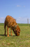 Wirehaired Hungarian Vizsla standing in a paddock sniffing Stock Photo