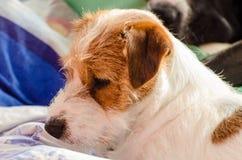 Wirehaired Lügen jungen reinrassigen Hundesteckfassungsrussell-Terriers auf dem Sofa Lizenzfreies Stockbild
