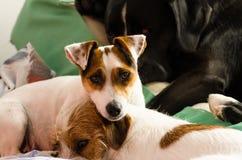 Wirehaired Lügen jungen reinrassigen Hundesteckfassungsrussell-Terriers auf dem Sofa Lizenzfreie Stockbilder