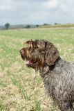Wirehaired Pointing Griffon Royalty Free Stock Image