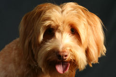 Wirehaired Pointing Griffon stock photo