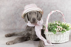 Wirehaired Slovakian pointer dog Stock Photo