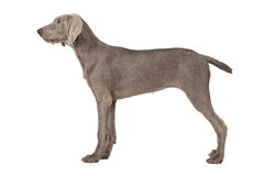 Wirehaired Slovakian pointer dog isolated on white royalty free stock photo
