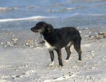 Wirehaired Terrier trakenu mieszający pies Zdjęcia Royalty Free