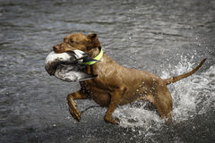 Wirehaired Vizsla Royalty Free Stock Images