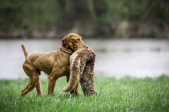 Wirehaired Vizsla. Is bringing the Fox Stock Photos