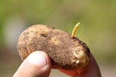 wireworm是叩头虫的甲虫的幼虫在土豆特写镜头的 免版税库存图片
