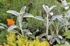 Wirft Zierpflanzen des Ohrs oder Stachys byzantina mit Spitze wie den Stämmen und starken Blättern, die dicht auf beiden Seiten m stockfoto