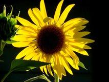Wirklich eine Sonnenblume Lizenzfreies Stockbild