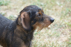 Wirklich netter Dachshund-Hund lizenzfreie stockbilder