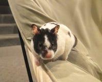 Wirklich netter Hamster! stockfotografie