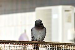 Wirklich reizender Schuss einer Taube lizenzfreie stockbilder