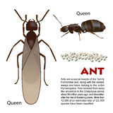 Wirkliche Ameiseninsektenillustration Stockfotografie