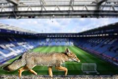 Wirkliche Fuchsleicester-Stadtfußball-Vereintapete Lizenzfreie Stockbilder