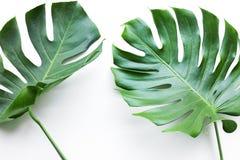 Wirkliche monstera Blätter eingestellt auf weißen Hintergrund Tropisch, botanisch lizenzfreie stockfotografie