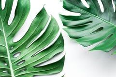 Wirkliche monstera Blätter eingestellt auf weißen Hintergrund Tropisch, botanisch lizenzfreie stockfotos