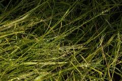 Wirkliche Tautropfen auf einem Gras eines Gartens stockfotografie