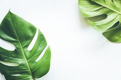 Wirkliche tropische Blatthintergründe auf Weiß Botanisches Naturkonzept stockfoto