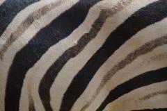 Wirkliche Zebrahaut - Beschaffenheit Lizenzfreies Stockfoto