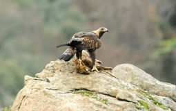 Wirklicher Adler mit Opfer in seinen Greifern auf dem Gebiet Lizenzfreie Stockfotografie