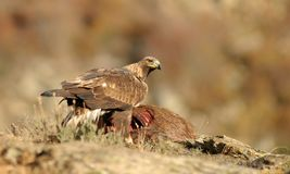 wirklicher Adler nahe bei den Überresten eines toten Tieres Stockfotografie