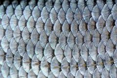 Wirklicher Hinterwellen-Fischschuppe-Hintergrund Stockfoto