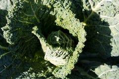 Wirsingkohl, der im Gemüsegarten wächst stockbilder