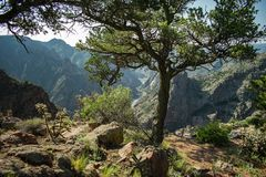 Wiry Tree on the Ridge of Royal Gorge royalty free stock image