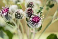 Świrzepa kwiaty Obrazy Royalty Free