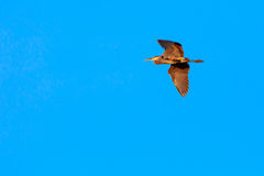 Wisconsin Blue Heron in Flight. Great Blue Heron flying across a Wisconsin sky Royalty Free Stock Images
