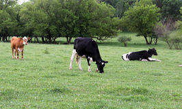Wisconsin Dairy cows on a green pasture Royalty Free Stock Photo